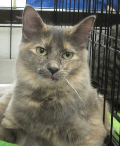 JOLENE is a 7-month-old, long-haired pastel torti from Cat Tails. She used to be afraid but has decided that people are her friends and now she loves the attention!