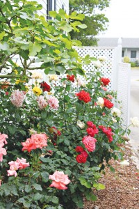 Roses are in full bloom at Lois Jane's Riverview Inn, just in time for the Southport in Bloom Garden Tour to be held Saturday, June 7th. Photo by Sara Beth McLamb