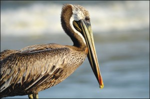 Live brown pelicans will be on-hand with the Sea Biscuit Wildlife Shelter during the NC Maritime Museum's 'NC Wild' Second Saturday Program. Guests will be able to get up close and personal with our area's critters at the event. Public domain photo