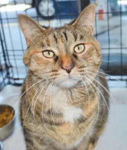My name is BELLA (Adopt-an-Angel) and I am a wonderful cat. I am calm and low key, and a little shy until I gain confidence in my new home. I am playful, but don't demand to play. I like to be petted and to cuddle, but I don't demand your attention. I like to spend much of my day in a comfortable spot looking out the window, especially on nice days when there are birds and lizards and bugs to watch. For a while there was another cat in my foster home. He thought that we should play and roughhouse together. I was really happy when he found his forever family. Although I would rather be an only cat, I do OK with well behaved dogs. It took me about 2 weeks to get comfortable being around the two big dogs who live in my foster home. Now I am pretty sure I am the boss of them.