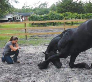 Trainer Lauryn Zepeda of Bolivia specializes in positive reinforcement training; she's seen here working with a stallion, teaching him to bow. Photo courtesy of Lauryn Zepeda.