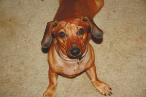 Hi there, my name is CINNAMON (R.A.C.E.), and I am a 7-year-old red Dachshund. I will require a quiet home as I get nervous if it is loud and crazy. I am very loving but I need to be introduced slowly. Once we are friends I will be the perfect companion! I do fine with other dogs. I am completely vetted and ready for my new home.