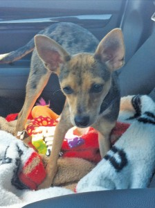 Hi! My name is SCOOTER (R.A.C.E.) and I am a happy-go-lucky Chihuahua/terrier mix. I am 6 to 9 months, nine pounds, and full of energy. I would love a home with another dog as I really love to play. I am unique because my coat is blue merle which makes me one of a kind! I am crate trained, potty trained and completely vetted.